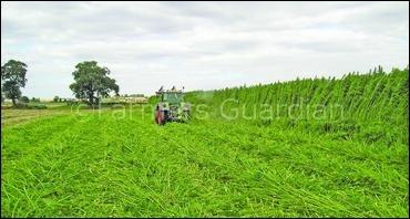 Hemp field at harvest