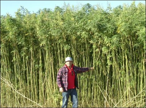 Griffith farmer Pat Calabria with hemp crop