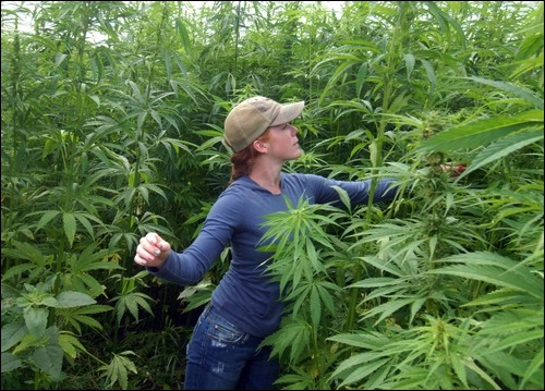 Tiffany Froines roguing a field of Canadian hemp