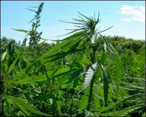 A hemp field