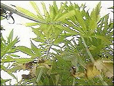Industrial hemp in the U.K.
