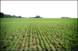 A newly-planted hemp field: Luke Zigovits