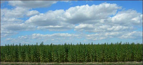Canadian Hemp Field