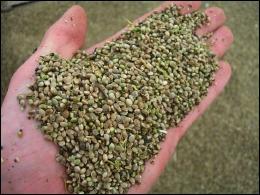 Handful of Hemp Seed