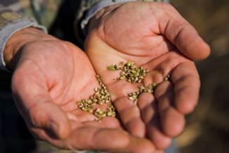Hemp Seed in Farmers Hands
