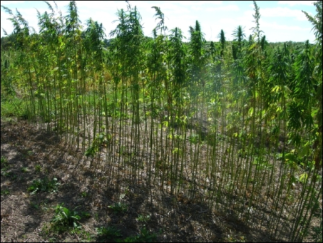 Hemp Seed at Harvest