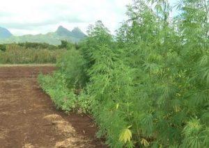 Hawaii hemp crop 2018