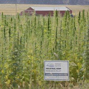 Washington state hemp farm